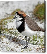 Two-banded Plover Charadrius Acrylic Print