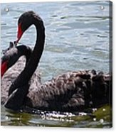 Two Black Swans Acrylic Print