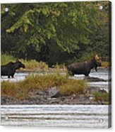 Two Bull Moose In Maine Acrylic Print