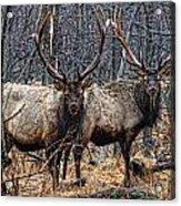 Two Bulls Acrylic Print by Wade Aiken