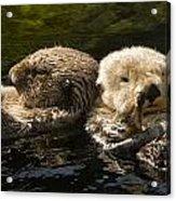 Two Captive Sea Otters Floating Back Acrylic Print