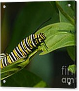 Two Caterpillars Acrylic Print by Steve Augustin