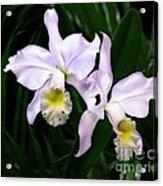Two Cattleyas Acrylic Print