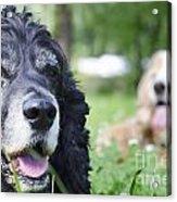 Two Cocker Spaniel Dogs Acrylic Print
