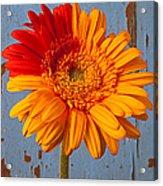 Two Color Gerbera Daisy Acrylic Print