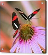 Two Colorful Butterflies On Cone Flower Acrylic Print