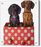 Two Dachshund Puppies Inside A Polka Acrylic Print