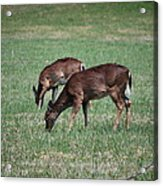 Two Does Grazing Acrylic Print