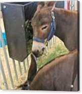 Two Donkeys Eating Acrylic Print by Donna Munro