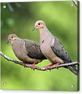 Two Doves Acrylic Print