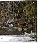 Two Ducks And A Tub Acrylic Print