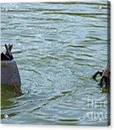 Two Ducks Diving Acrylic Print by Matthias Hauser