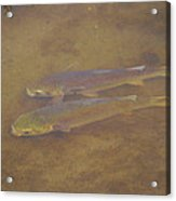 Two Fish In The Laguna Madre Acrylic Print