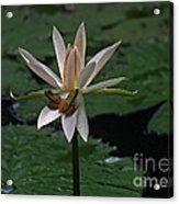 Two Frogs Sharing A Lotus Acrylic Print