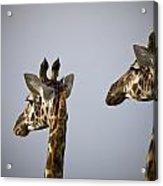 Two Giraffe Heads Side By Side Kenya Acrylic Print