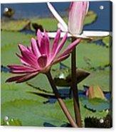 Two Graceful Water Lilies Acrylic Print by Sabrina L Ryan