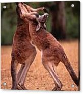 Two Kangaroos Appear To Be Dancing Acrylic Print
