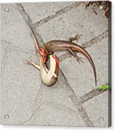 Two Lizards Are Fighting Acrylic Print