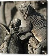 Two Marine Iguanas Amblyrhynchus Acrylic Print