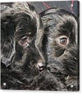 Two Matched Pups Acrylic Print
