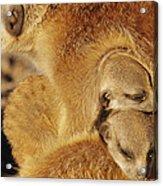 Two Meerkat Pups Sleep Under The Arm Acrylic Print
