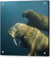 Two Pacific Walruses Swim Together Acrylic Print
