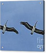 Two Pelicans In Flight Acrylic Print