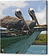 Two Pelicans Pelecanus Occidentalis On Acrylic Print