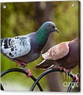 Two Pigeons Acrylic Print