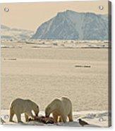 Two Polar Bears Eat A Carcass As Sea Acrylic Print