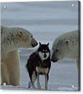 Two Polar Bears Ursus Maritimus Sniff Acrylic Print by Norbert Rosing