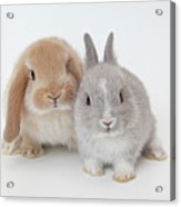 Two Rabbits.netherland Dwarf And Holland Lop. Acrylic Print