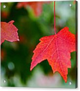 Two Red Maple Leaves Acrylic Print