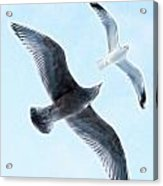 Two Seagulls Acrylic Print