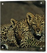 Two Sleepy Four-month-old Leopard Cubs Acrylic Print