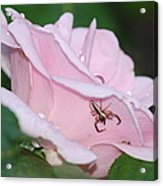 Two Spiders In A Rose Acrylic Print