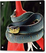 Two-striped Forest Pit Viper Bothrops Acrylic Print