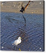 Two Strutting Egrets Acrylic Print
