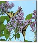 Two Swallowtails Acrylic Print