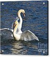 Two Swans Playing Acrylic Print