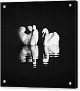 Two Swans Swimming Acrylic Print