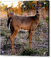 Two White Tails Acrylic Print