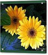 Two Yellow Dahlias Acrylic Print