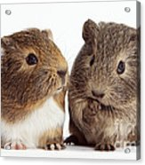 Two Young Guinea Pigs Acrylic Print
