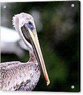 Ugly Beauty - Brown Pelican Acrylic Print