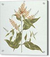 Umtar - Buddleia Polystachya Acrylic Print