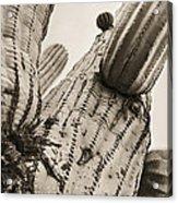 Under Saguaro Acrylic Print