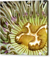 Under Water Anemone Acrylic Print