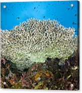 Underside Of A Table Coral, Papua New Acrylic Print by Steve Jones