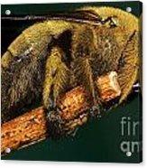 Unknown Wild Bee Acrylic Print